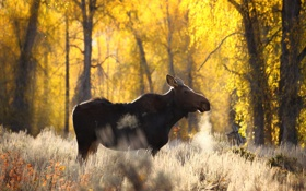 Обои лес, природа, лось