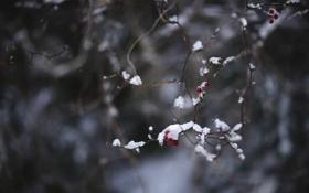 Картинка зима, холод, снег, ягоды, ветка, макро, красный