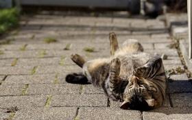 Обои кот, наслаждение, лежит, кошка