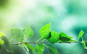 Обои листья, зелень, ветка