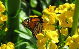 Обои растение, мотылек, бабочка, цветы