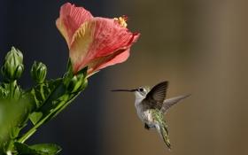 Обои птица, гибискус, колибри, цветы