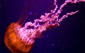 Обои оранжевая, под водой, розовая, медуза