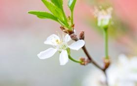Картинка белый, цветок, листья, макро, вишня, ветка, весна