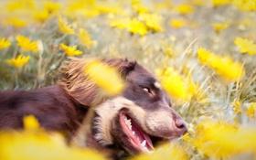 Обои цветы, поле, собака