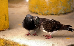 Обои голуби, тайна, секрет, птицы, пара