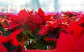 Картинка красная, цветение, Пуансеттия