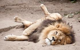 Картинка песок, кошка, взгляд, отдых, лев, грива