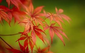 Картинка листья, осень, ветка, макро, клен