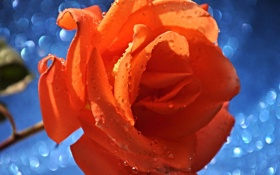 Обои цветок, лепестки, бутон, роза, капли
