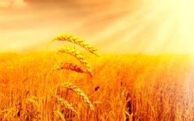 Картинка поле, солнце, хлеб, колосья