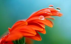 Картинка капли, цветок, гербера, роса, лепестки, вода
