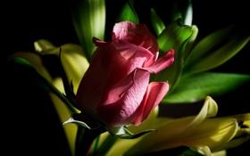 Обои листья, роза, лепестки, бутон, полумрак
