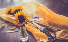 Картинка цветок, желтый, подсолнух, лепестки, ножницы