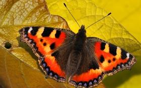 Картинка лист, узор, бабочка, крылья, насекомое, мотылек