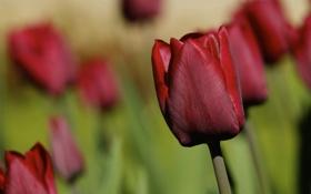Картинка тюльпан, бутон, тюльпаны, боке, бордо