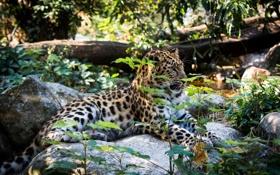 Обои дикая кошка, заросли, отдых, хищник, лежит, амурский леопард