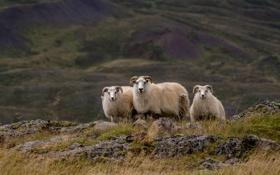 Обои холм, Исландия, бараны