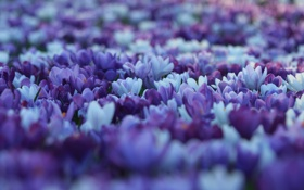Обои поляна, весна, размытость, Крокусы, цветы