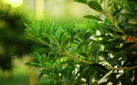 Обои зелень, листья, природа
