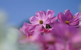 Картинка небо, макро, цветы, размытость, розовые, полевые, космея