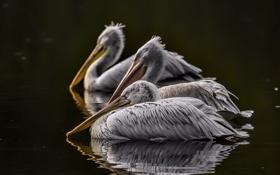 Картинка птицы, река, пеликаны