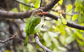 Обои tropical, wildlife, asia, barbet, bird, green, delhi
