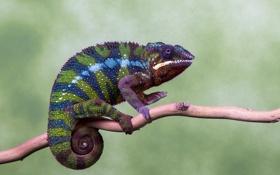 Обои глаза, цвета, хамелеон, ветка, лапы, хвост, живая природа