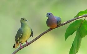 Обои листья, голуби, ветка, птицы, дерево