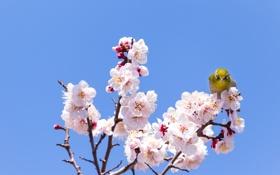 Обои ветки, цветение, вишня, птица, фон, дерево, цветы