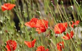 Обои красные, бутоны, цветы, маки