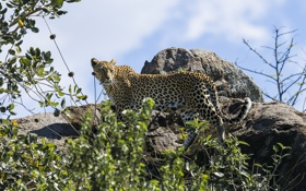 Обои скалы, листва, леопард, кустарник