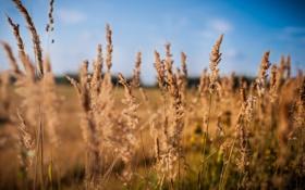Обои Фотограф Дмитрий Шматов, Рожь, Поле, Небо, Голубизна, Пщеница, Растение