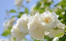 Картинка белый, цветок, макро, природа, фото