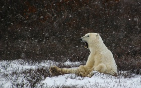 Картинка winter, snowing, laziness, yawning, polar bear
