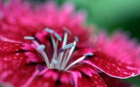 Обои розовый, цветок, малиновый, гвоздика, лепестки, макро, яркий