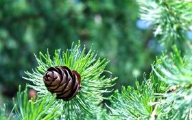 Обои зелень, солнце, Ель, Russia, шишки, nature, spruce