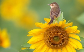 Обои цветок, подсолнух, птичка, камышовка
