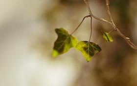 Картинка зелень, листья, макро, природа, фото, green, растения