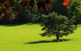 Картинка деревья, овцы, тень, лужайка