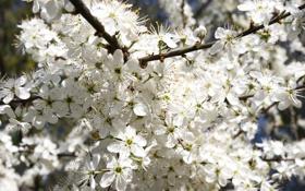 Картинка цветы, ветки, природа, вишня, дерево, лепестки, цветение