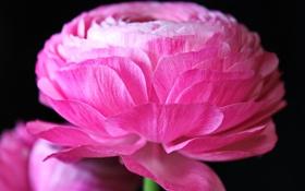 Обои цветы, розовые, лютики, ranunculus