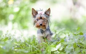 Обои йоркширский терьер, трава, бант, зелень, цветы, собака