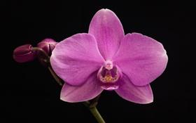 Картинка макро, темный фон, орхидея