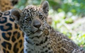 Картинка дикая кошка, морда, ягуар, котенок, детеныш, хищник