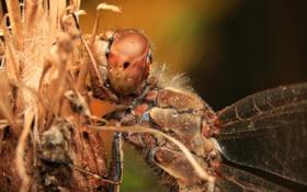 Картинка насекомое, стрекоза, макро