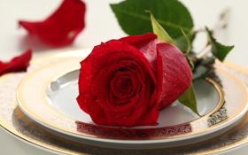 Обои цветок, капли, стол, роза, rose, роскошь, flower