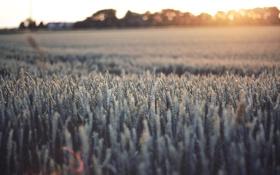 Обои колоски, поле, закат