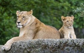 Обои кошка, камень, детёныш, котёнок, львица, львёнок, ©Tambako The Jaguar