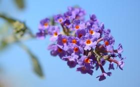 Обои небо, цветы, ветка, соцветие
